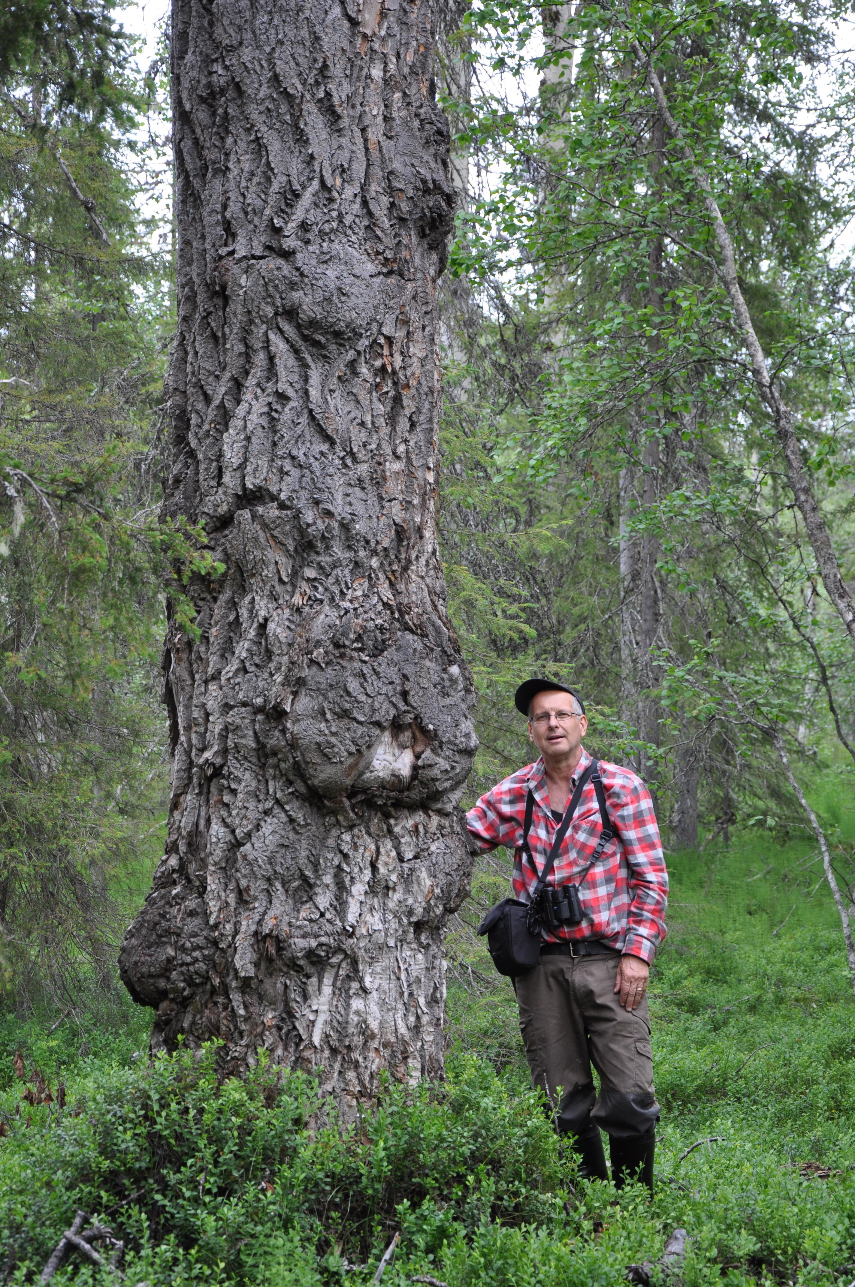 Hovding raddar urskog