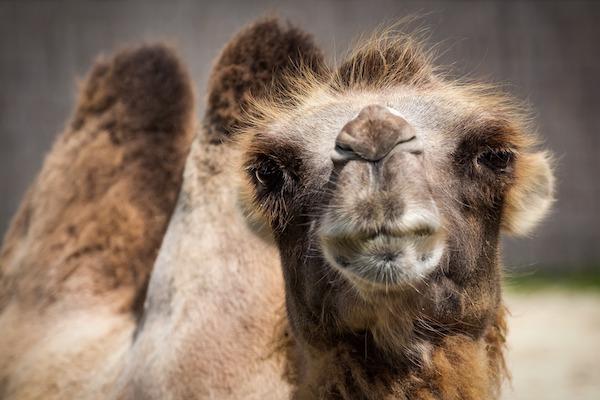 Drommen om att vara kamel